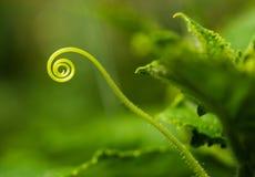φυτό αγγουριών Στοκ Εικόνες