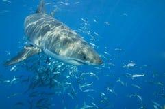 巨大鲨鱼白色 免版税库存图片