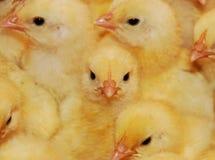 鸡 库存图片