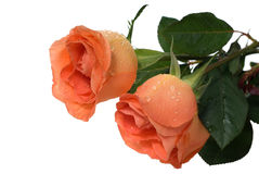 桃子玫瑰 免版税库存图片