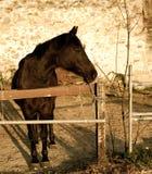 棕色马 库存照片