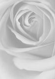 空白黑色的玫瑰 免版税图库摄影