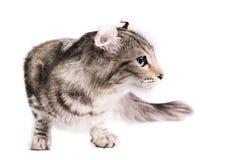 美国猫卷毛 免版税库存图片