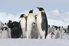 пингвины императора Стоковая Фотография