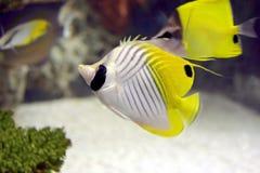 ψάρια αγγέλου Στοκ Φωτογραφία