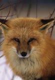 狐狸纵向红色 免版税库存图片