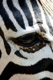眼睛斑马 库存照片