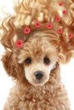 头发长的长卷毛狗小狗 免版税库存照片