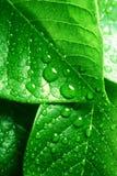 清洗新鲜的绿色叶子 免版税库存图片