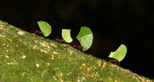 剪切叶子的蚂蚁 免版税图库摄影