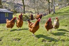 鸡 免版税库存照片
