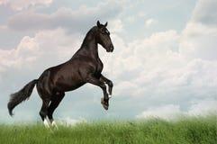 饲养小跑步马的掠夺 免版税库存图片