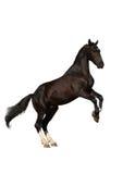 饲养小跑步马的查出的掠夺 库存照片