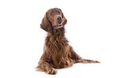 狗爱尔兰赤毛的塞特种猎狗 库存照片