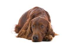 狗爱尔兰赤毛的塞特种猎狗 图库摄影