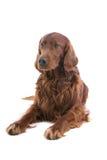 狗爱尔兰赤毛的塞特种猎狗 免版税库存照片