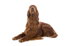 狗爱尔兰赤毛的塞特种猎狗 库存图片