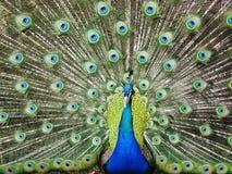 鸟孔雀 免版税库存照片