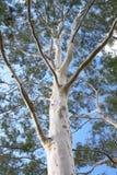 蓝色鬼魂胶天空结构树 库存图片