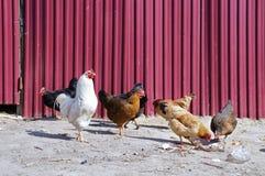 鸡! 免版税库存照片