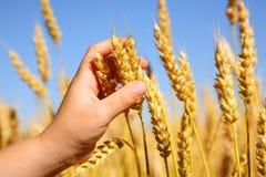 儿童藏品麦子 免版税库存照片