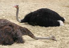 страус Стоковые Изображения