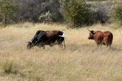 牛 免版税库存照片