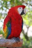 金刚鹦鹉猩红色 库存图片