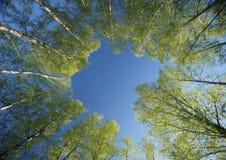 桦树圈子加冠春天 免版税库存图片