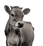 корова Джерси Стоковые Фото