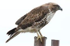 鹰 免版税库存照片