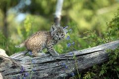 美洲野猫年轻人 免版税库存图片