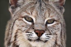 成人美洲野猫 库存图片