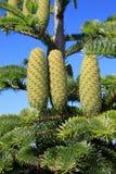 δέντρο έλατου Στοκ Εικόνες