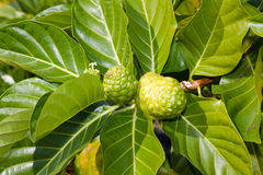 Noni Foto de Stock Royalty Free