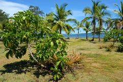 Noni-Baum auf tropischem Garten Stockbild