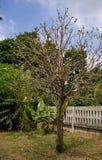 Noni drzewo Zdjęcie Stock