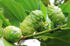 Noni frui Royalty Free Stock Photos