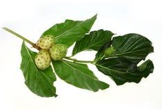 Noni Fruit. On the white background Stock Photography