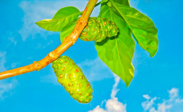 Noni fruit Royalty Free Stock Photography