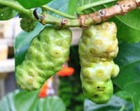 Noni fruit Royalty Free Stock Images