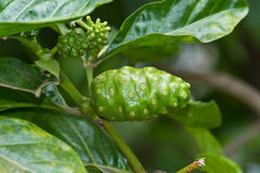 Noni fruit Royalty Free Stock Image