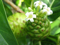 Noni Fruit Stockbild