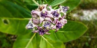 Noni fruit flower. Purple green plant plants nature natural royalty free stock photo