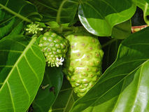 Noni Fruit with flowers Stock Photography
