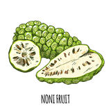 Noni fruit, Full color realistic hand drawn vector. Royalty Free Stock Photos
