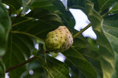 Noni Fruit Stock Images