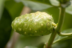 Noni Fruit Stock Photography
