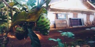 Noni Fruit påbörjar från South East Asia är art av kungarikeplantae denna växt växer i lågländerna till en höjd av 1500m royaltyfri foto