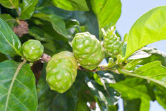 Noni fruit on tree Royalty Free Stock Images